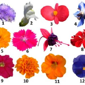 (1) Ageratum houstonianum,(2) Antirrhinum majus,(3) Begonia semperflorens, (4) Borago officinalis, (5) Calendula officinalis, (6) Dianthus × barbatus, (7) Fuchsia hybrida, (8) Pelargonium peltatum, (9) Petunia × hybrida, (10) Tagetes erecta, (11) Tropaeolum majus, (12) Viola × wittrockiana.