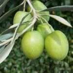 olive-verdi-ramo