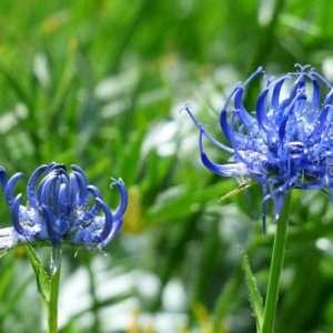 artiglio-del-diavolo-fiori