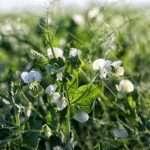 pisello proteico piante