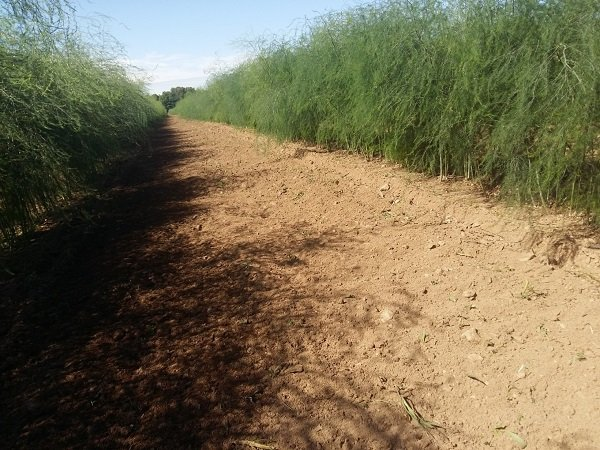 Canada, cultivar asparago Guelph Millennium