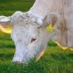 mucca che mangia