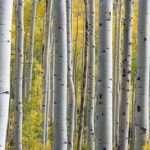 betulle alberi