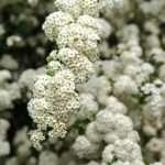 biancospino fiori