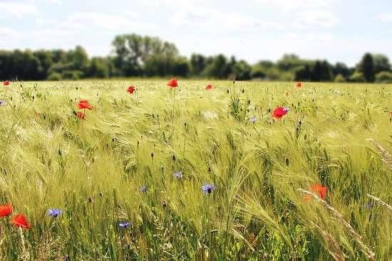 campo grano e papaveri