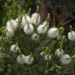 tea tree oil pianta