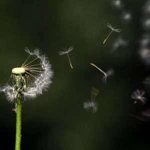 tarassaco fiore maturo
