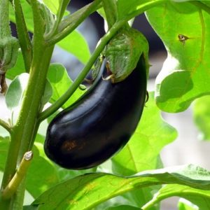 melanzana  pianta spesa giugno