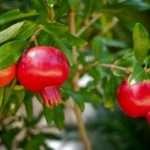 frutti melograno su albero
