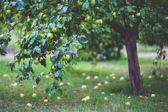 albero di mele frutta e verdura di stagione