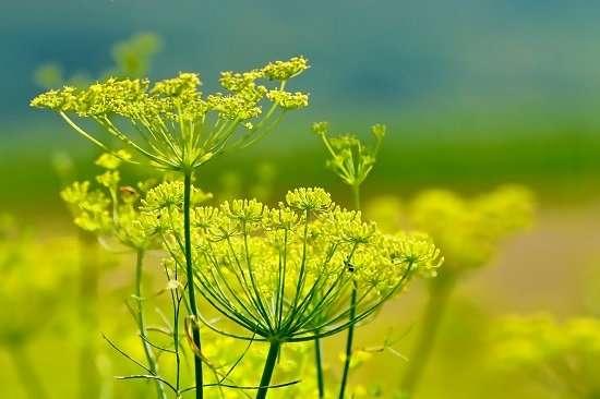 fiori finocchio