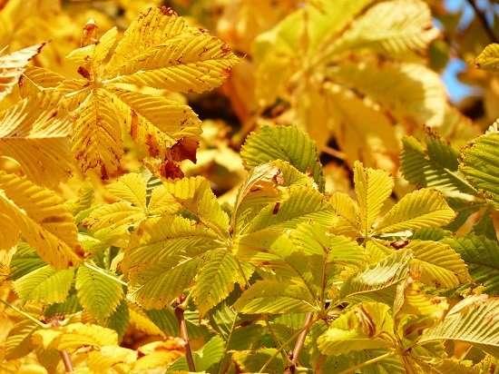 foglie castagno