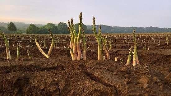 asparagi in campo